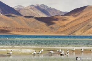 Pangong Tso, Ladakh